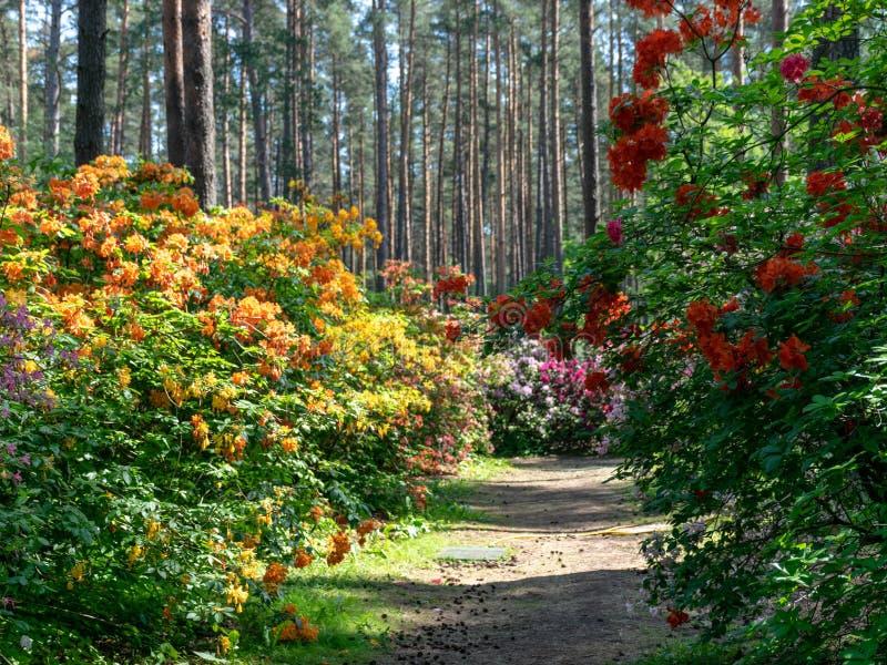 цветки рододендрона в красивом лесе стоковое изображение