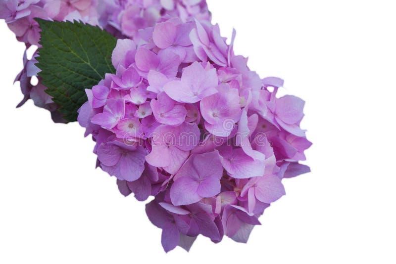 Цветки розовой гортензии, на белизне изолировали предпосылку стоковая фотография rf