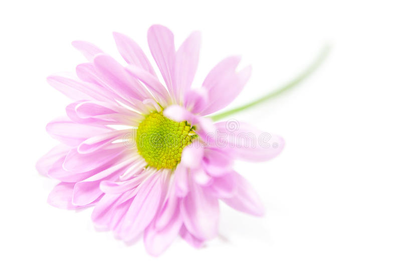 Цветки розовых маргариток цветка маргаритки флористические стоковая фотография rf
