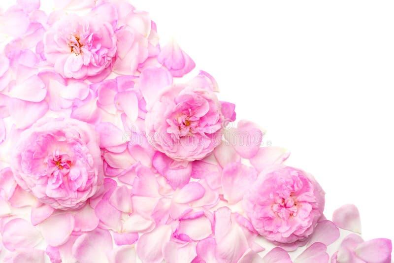 Цветки розы пинка изолированные на белой предпосылке Взгляд сверху стоковая фотография rf