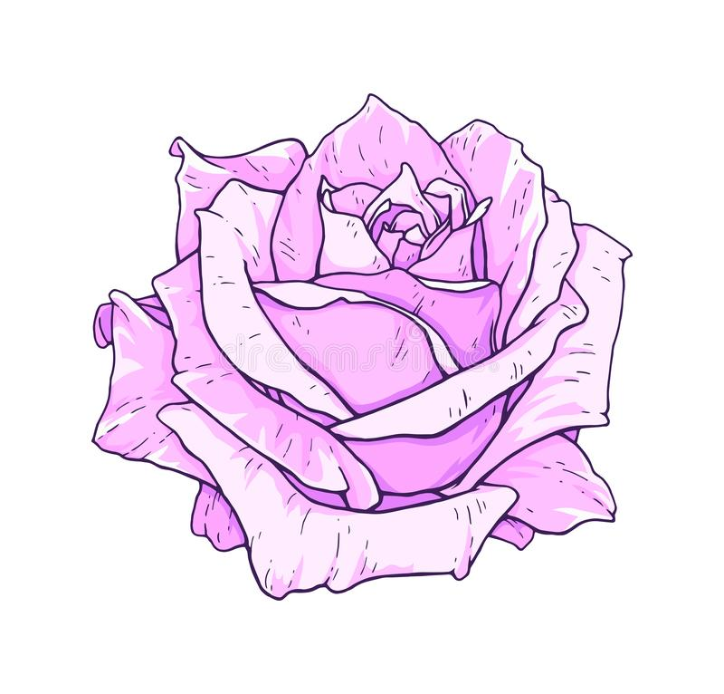 Цветки розы пинка изолированные на белой предпосылке Иллюстрация ручной работы вектора Чертеж зацветая розы бесплатная иллюстрация