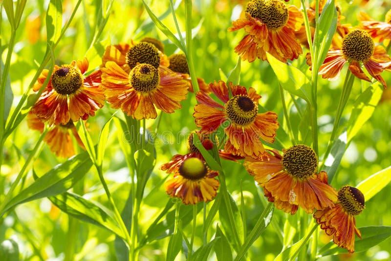 Цветки сада helenium поздним летом оранжевые желтые в природе Оформление сада несъедобные красивых ярких цветков helenium горькие стоковое изображение