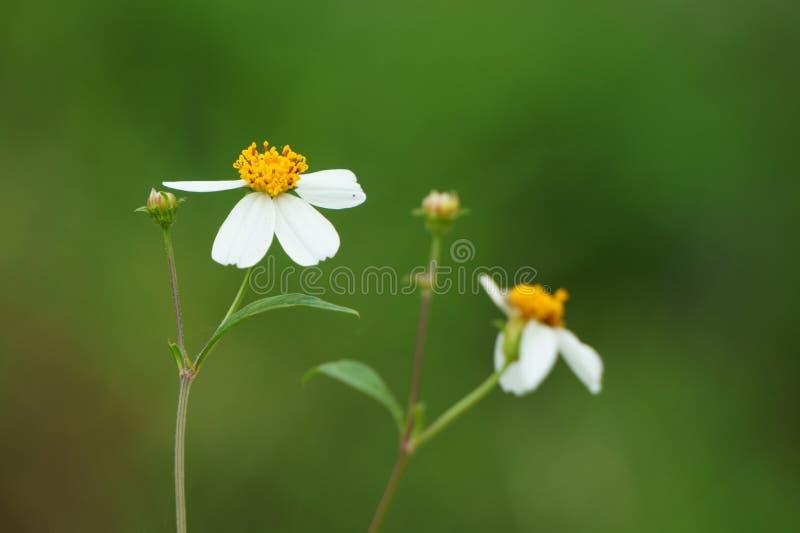 Цветки сельской местности Pilosa Bidens стоковые фото