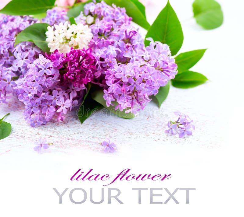 Цветки сирени над белой деревянной предпосылкой стоковые изображения