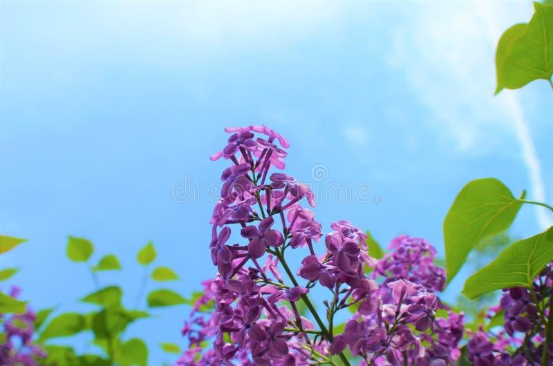 Цветки сирени против небесно-голубой предпосылки с космосом экземпляра стоковые изображения rf