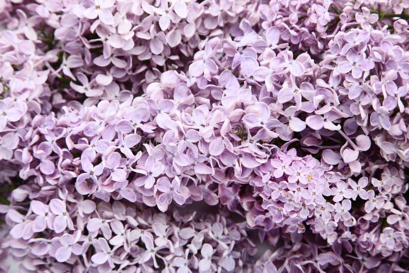 Цветки сирени стоковые фото