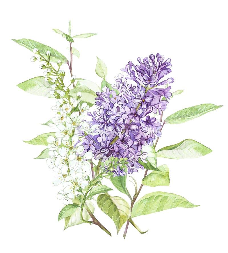 Цветки сирень весны и дерево Птиц-вишни изолированное на белой предпосылке Иллюстрация акварели нарисованная рукой иллюстрация вектора