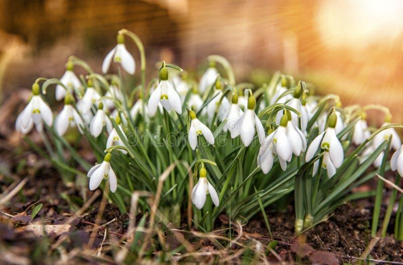 Цветки скачут первые белые snowdrops в упаденном снеге греемом лучами солнца стоковые изображения