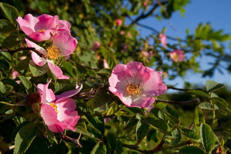 Цветки сладкого briar стоковые фото