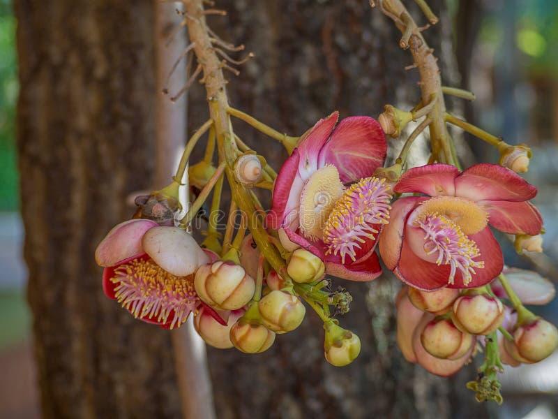 Цветки соли, дерево пушечного ядра стоковое фото