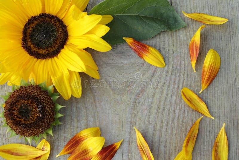 Цветки солнцецветов на деревянной предпосылке стоковое фото rf