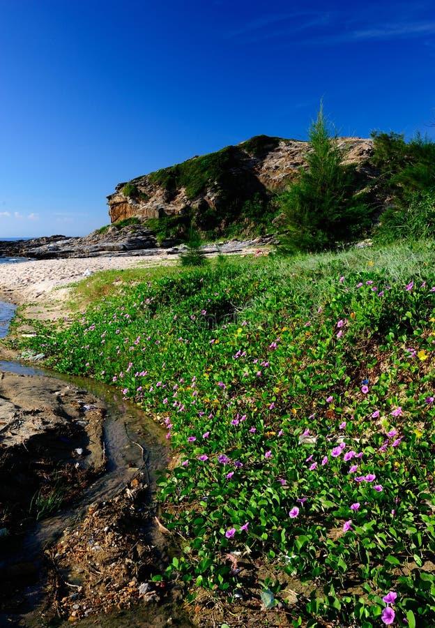 Цветки славы утра на пляже стоковая фотография rf