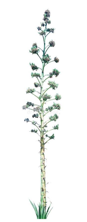 Цветки с высокими стержнями изолированными на белой предпосылке стоковое фото rf