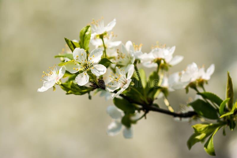 Цветки сливы белые стоковые изображения rf