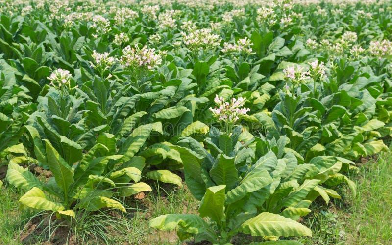 Цветки табака в заводе фермы стоковые фото
