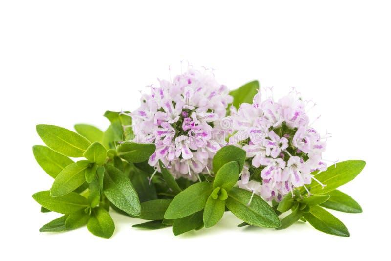 Цветки тимиана стоковые фотографии rf