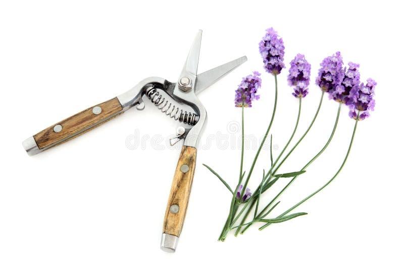 Цветки травы лаванды стоковые изображения
