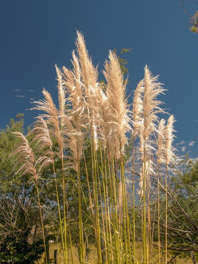 Цветки травы Пампаса против очень ясного голубого неба стоковая фотография