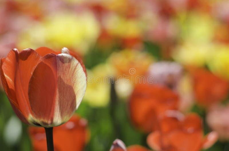 Цветки тюльпана в саде стоковое фото