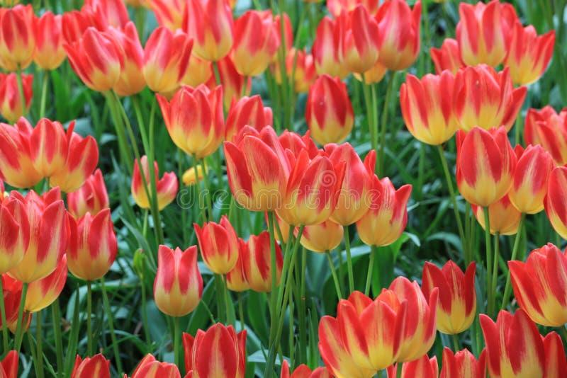 Цветки тюльпана, сад Голландия keukenhof стоковая фотография