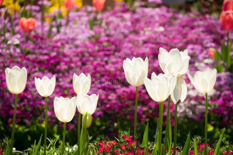 Цветки тюльпана фестиваля цветка Toowoomba стоковые фотографии rf