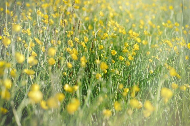 Цветки луга - цветки лютика стоковые фото