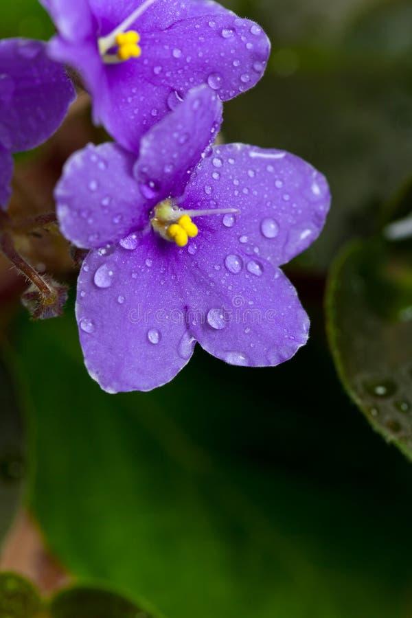 Цветки фиолетов стоковая фотография