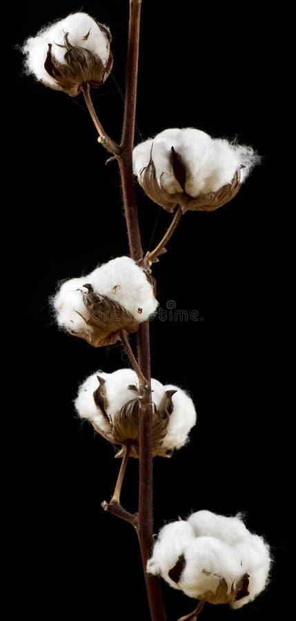 цветки хлопка стоковая фотография
