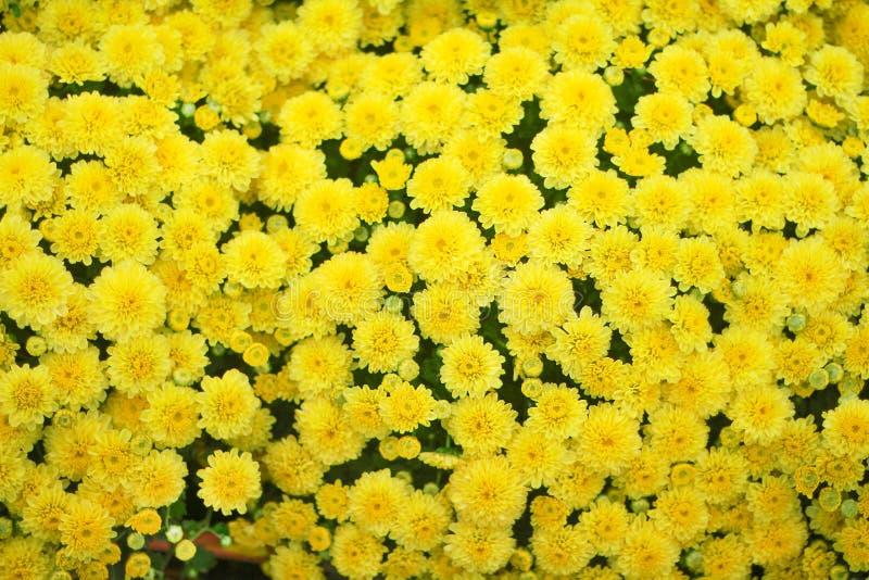 Цветки хризантемы взгляда сверху красочные желтые большая группа зацветая в саде, предпосылке природы стоковые фотографии rf