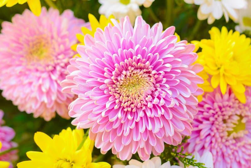 цветки хризантемы цветастые стоковое фото