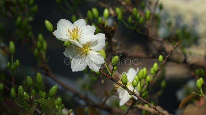 Цветки цветения абрикоса белые - цветки Tet в празднике Вьетнаме стоковые изображения rf