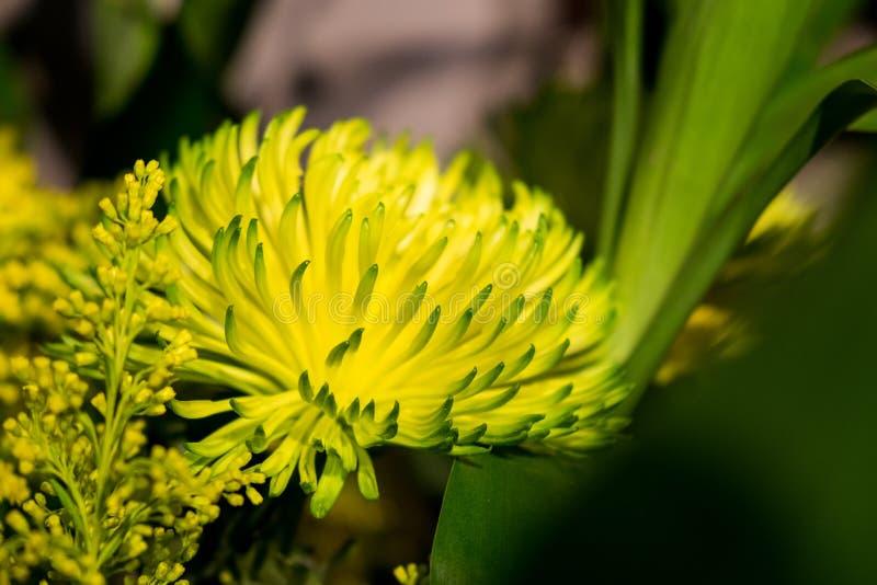 Цветки цветения желтые в темной предпосылке стоковые изображения