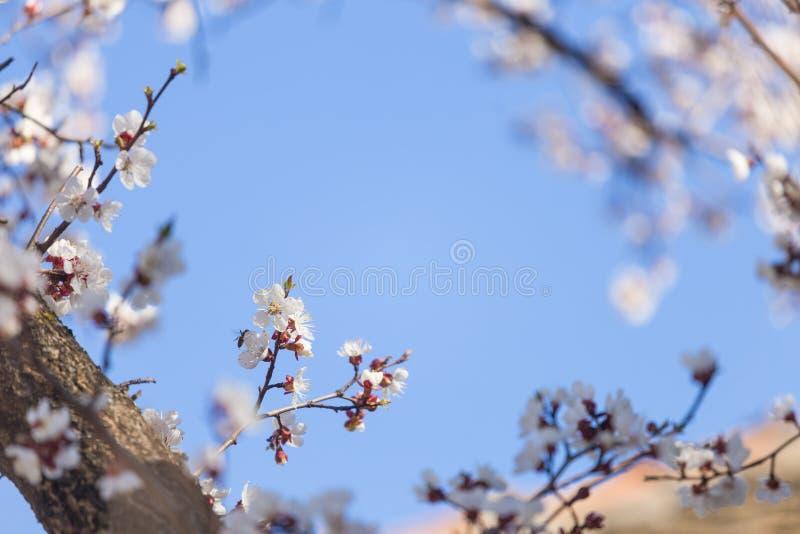 Цветки цветения яблони на ветви на весне Красивые зацветая цветки изо стоковые изображения