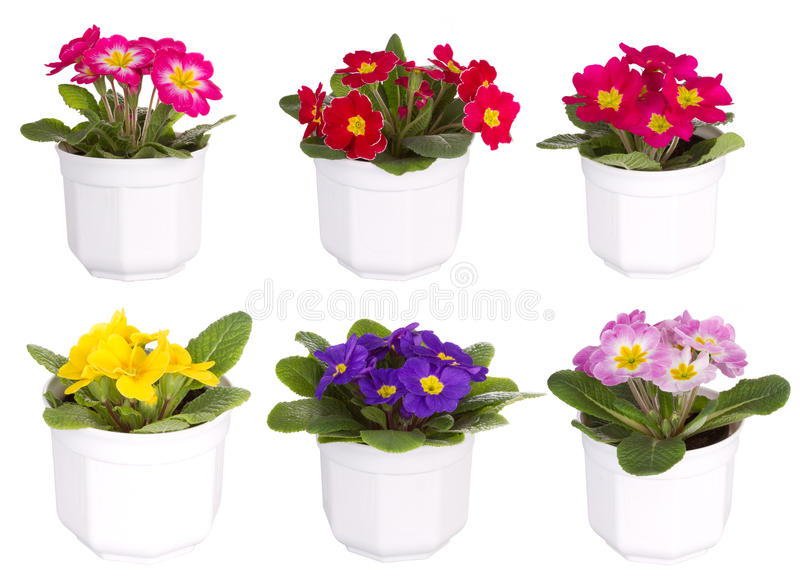 цветки цветка смешивают primula бака стоковое фото rf