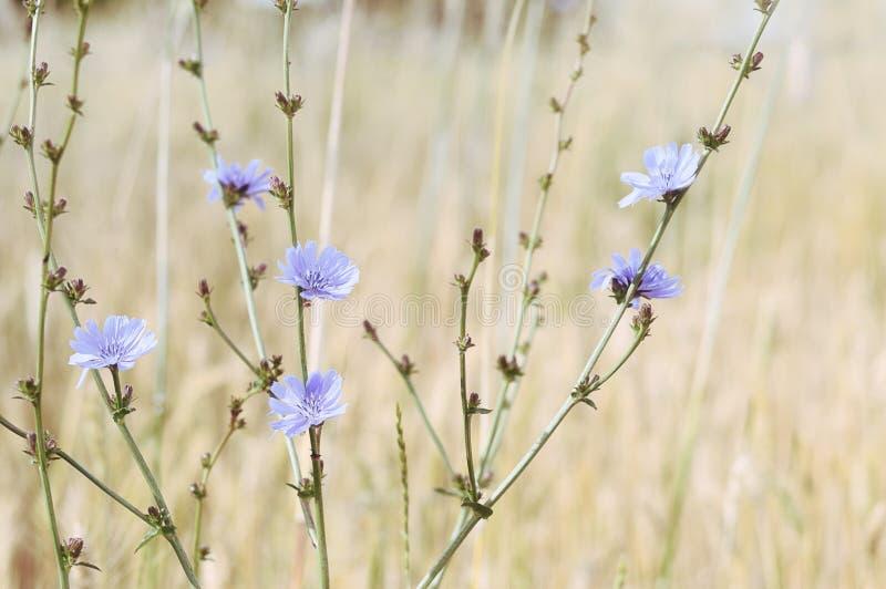 Цветки цикория в поле стоковые фото