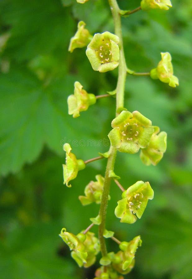 Цветки черной смородины стоковое изображение