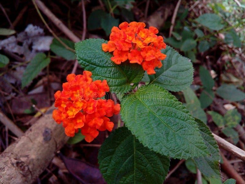Цветки Шри-Ланка стоковое изображение