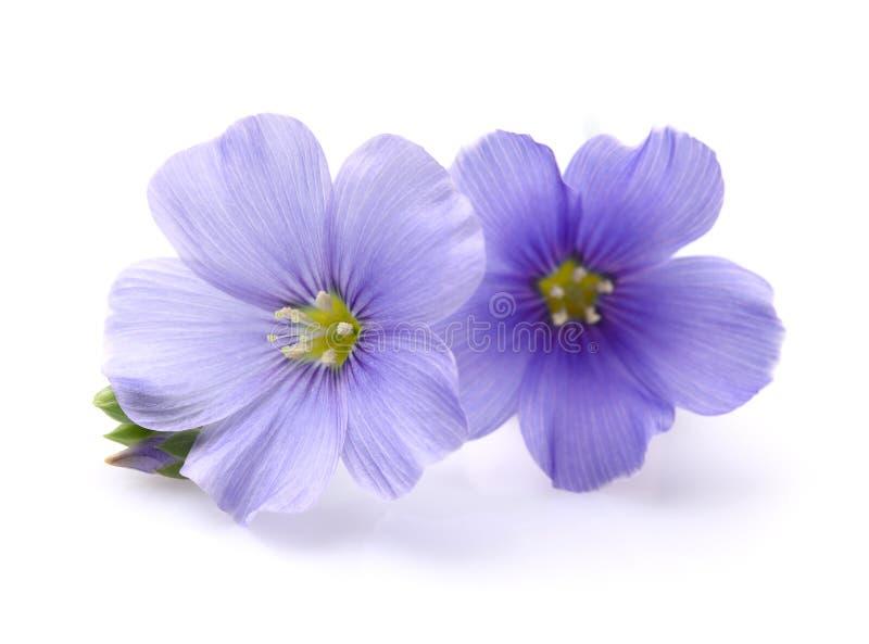 Цветки льна в крупном плане стоковые изображения rf