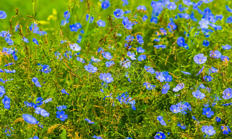 Цветки льна Поле голубых цветений льна стоковые фотографии rf
