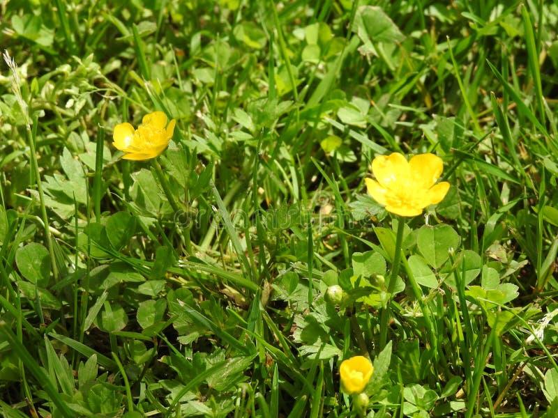 Цветки лютиков стоковые фото