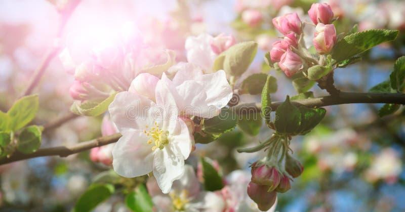 Цветки яблони в лучах яркого солнца Отмелый de стоковая фотография