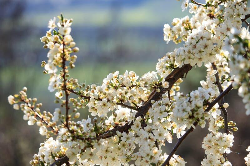 Цветки яблони на заходе солнца стоковая фотография