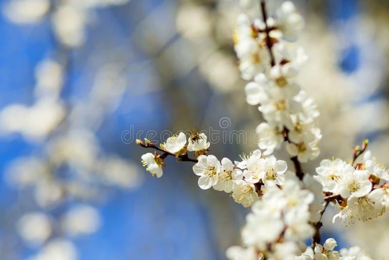 Цветки яблонь Цветя дерево и голубое небо Свежие ветви яблони весны с цветками Запачканные вишни на стоковая фотография rf