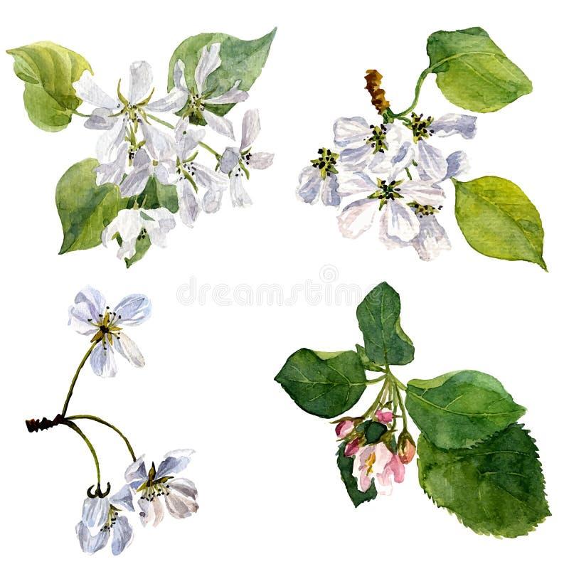 Цветки яблони акварели вектора иллюстрация вектора