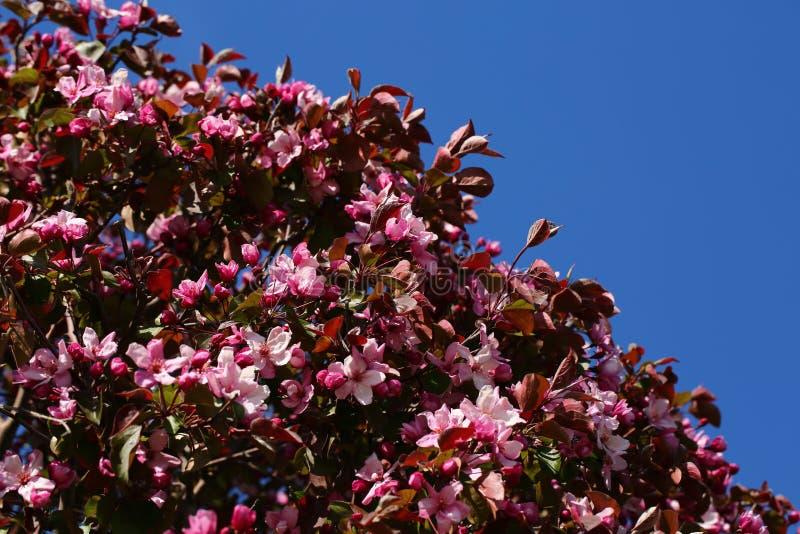 Цветки яблони розовые стоковые фотографии rf