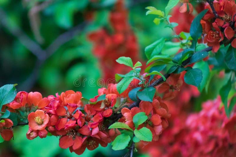 Цветки японской айвы стоковая фотография rf