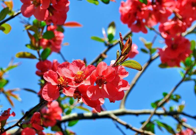 Цветки японской айвы стоковые изображения