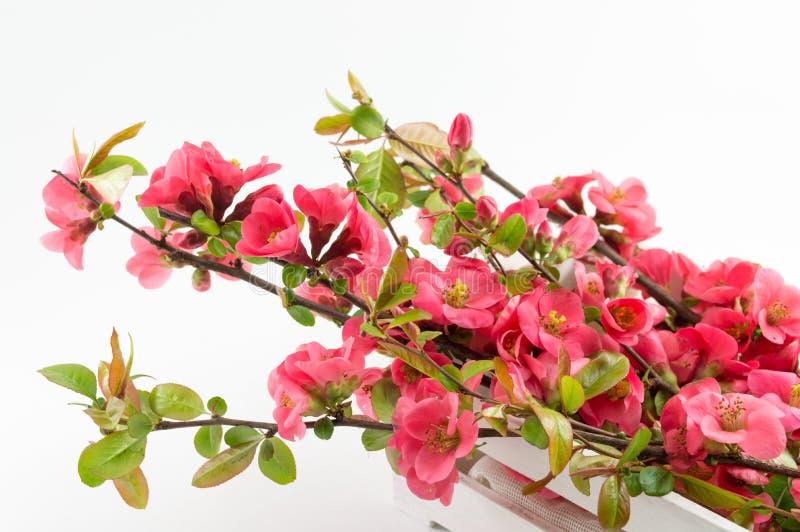Цветки японца розовые в коробке стоковая фотография