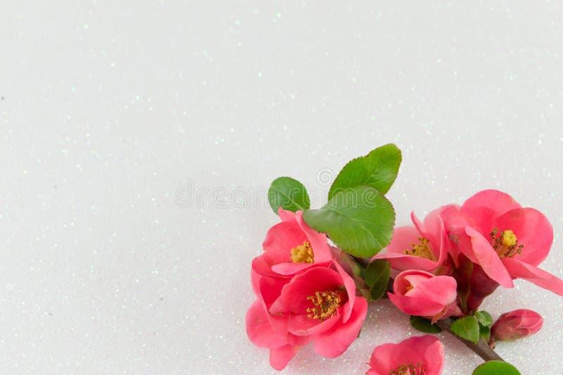 Цветки японца розовые стоковое изображение