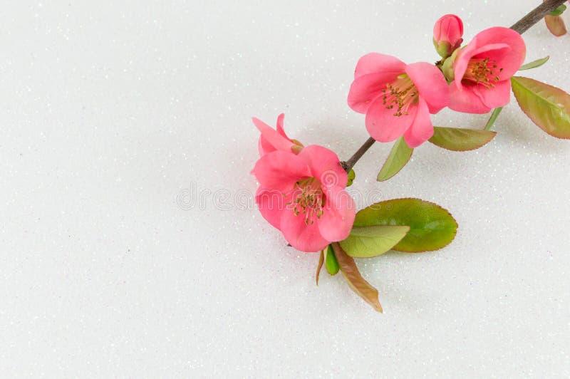 Цветки японца розовые стоковые изображения